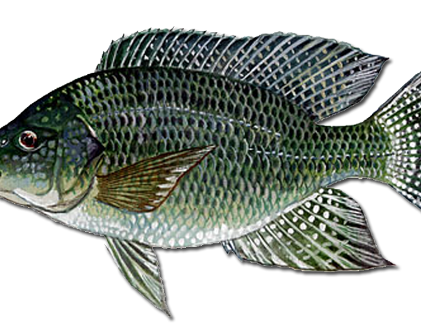 Types of tilapia urban fish farmer for What type of fish is tilapia