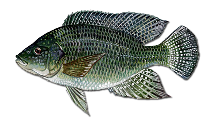 The blue tilapia oreochromis aureus urban fish farmer for Is tilapia a man made fish