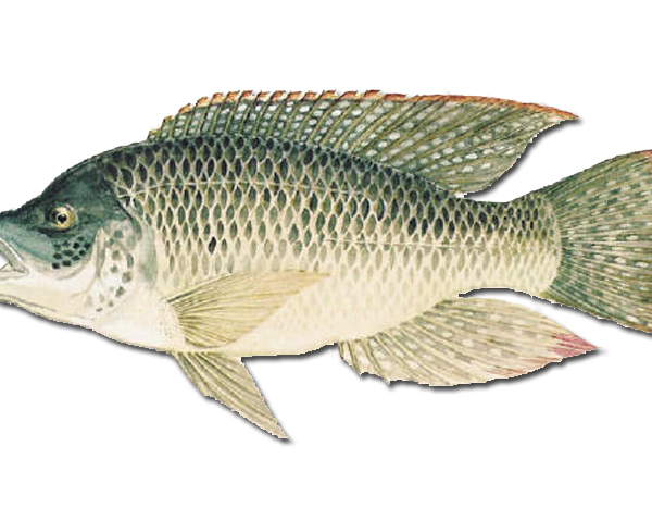 Aquaponics types of fish plans diy for What kind of fish is tilapia