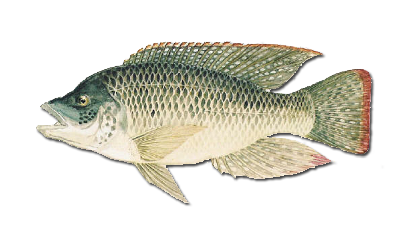 The Mozambique Tilapia
