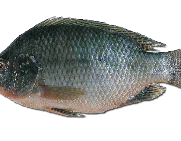 Nile tilapia urban fish farmer for Is tilapia a man made fish