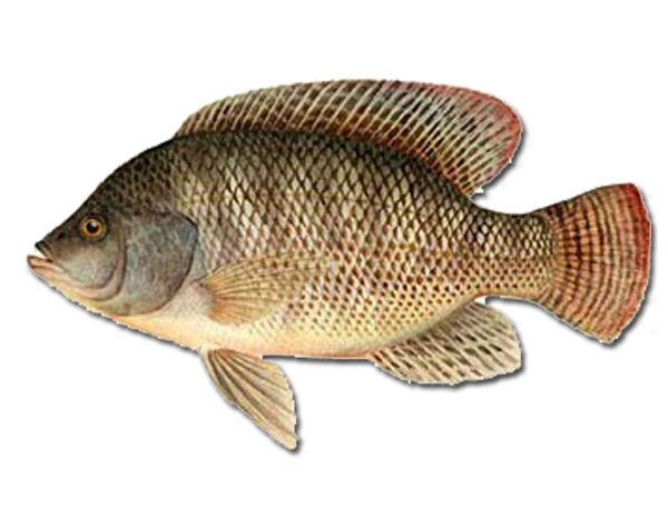 Oreochromis urolepis hornorum