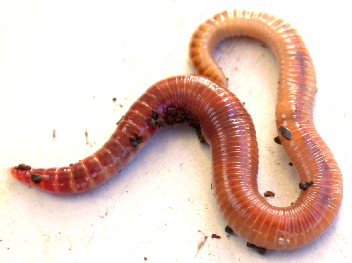 Organic soil vermicomposting worm tea urban fish farmer for Red worms for fishing